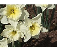 Spring Flowers - Snow Daffodil Photographic Print