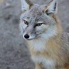 The corsac fox (Vulpes corsac) by DutchLumix