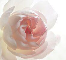 Delicate Rose petals by Anna Calvert