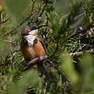 Eastern Spinebill by margotk