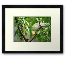 Indian Ringneck Parrot Framed Print