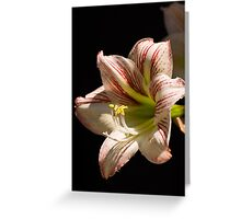 Amaryllis in the dew Greeting Card