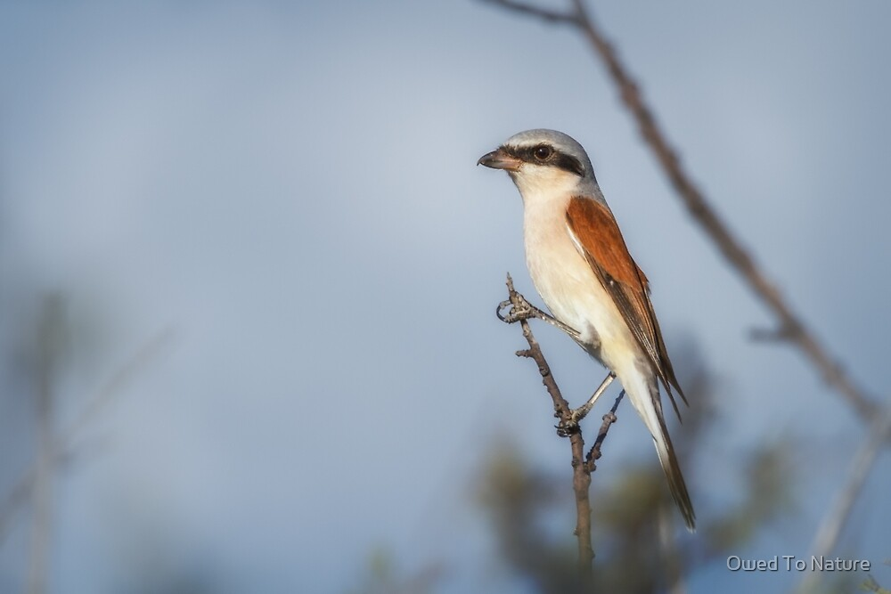 Red-backed Shrike by Owed To Nature
