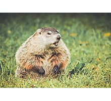 Groundhog in vintage garden setting Photographic Print