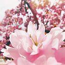 Cherry blossoms sakura by Eliza Sarobhasa