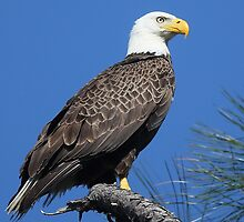 A Majestic Bald Eagle by jozi1