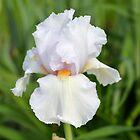 White Iris by Kathleen Brant