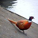 Pheasant Outing by Nik Watt