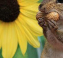 Chipmunk eating peanut next to lemon sunflower Sticker