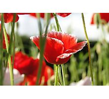 Poppies In the Grass Photographic Print