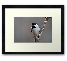 Chickadee perched Framed Print