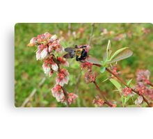 Bumble Bee on a Blueberry Bloom Canvas Print