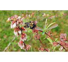 Bumble Bee on a Blueberry Bloom Photographic Print