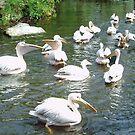 Pelicans by Arie Koene