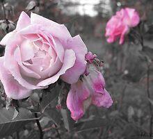Pink & Gray Roses by bizarreXpress