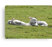 It's Tiring Being A Cute Lamb Canvas Print