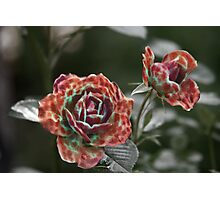 Furry Roses Photographic Print