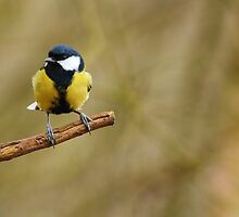 Great Tit by Paul Bettison