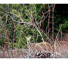 White Tailed Deer through Brush Photographic Print