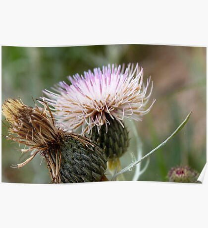 Dune Thistle  Poster