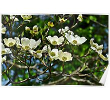 White Blossoms Poster
