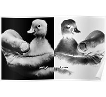 Positive/Negative prints ~ duckling in palm of farmer's hand Poster