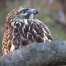 Red-Tailed Hawk Eye Set on Sky by M-EK