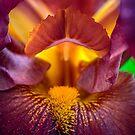 Iris macro by alan shapiro