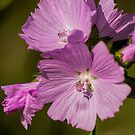 Musk Mallow by Colin Metcalf