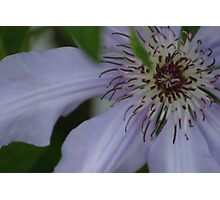 clematis close up Photographic Print