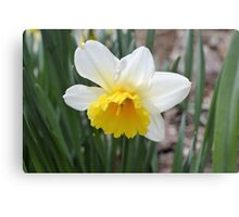 Spring's First Daffodil Canvas Print
