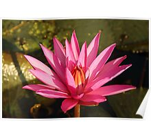 Lotus Flower in the Nature Poster