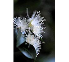 White Blossom Photographic Print