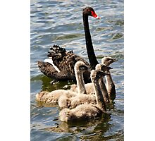 Black Swan and Cygnets Photographic Print