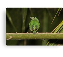 Female Blue-Crowned Manakin Canvas Print