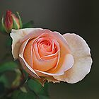 Soft Orange Rose Bud by Lozzar Flowers & Art