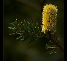Lemon Banksia by haymelter