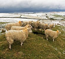 Easter Sheep Peak District by ten2eight