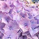 Hydrangea Petals by Ludwig Wagner