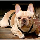 Portrait of a Frenchie by Mark Ross