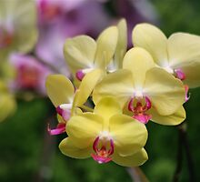 Perfect Yellow Orchids by autumnwind