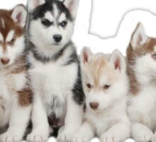Husky Puppy Stickers Sticker
