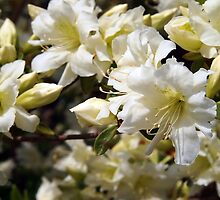 White Azalea Profusion by Linda Makiej