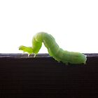 Green Caterpillar by rom01