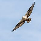 Osprey 2016-1 by Thomas Young