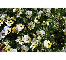 Yellow white flowers in the garden. Photographic Print