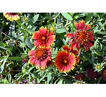 Red beautiful flowers in the garden. Photographic Print