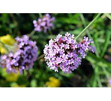 Macro on purple flowers in the garden. Photographic Print