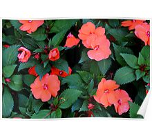 Red orange flowers in the green bush. Poster