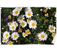 White beautiful flowers in the garden. Poster